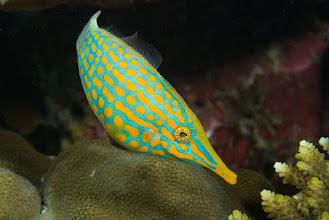 Photo: Longnose Filefish, Papua New Guinea