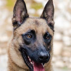 My boy by Elias Spiliotis - Animals - Dogs Portraits ( maligator, black, belgian shepherd dog malinois, portrait, brown, dog, mask,  )