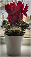"""Photo: Cyclamen,  din fereastra mea, sursa  Juszi,  din Turda, Str. Salinelor, de Martisor  - Ciclamenul din fereastra mea..- """"Știai că... ... orice plantă cu bulb este asociată în cultura chinezească cu averi și comori ascunse?....Se spune ca: Ciclamenul te scapă de datorii""""  :), :), :), -  2019.03.04  https://www.facebook.com/photo.php?fbid=2767675199926887&set=a.1336910659670022&type=3&theater"""