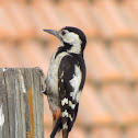Syrian woodpecker (female)