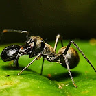 Ant-Mimicking Jumping Spider?
