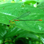 Orange-tailed marsh dart or Bi-coloured damsel