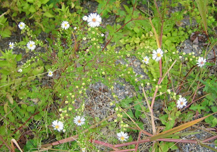 Photo: Small White Aster, 9.9