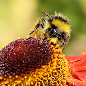 Bee on helenium 13 2.JPG
