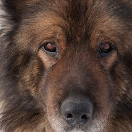 Tomi by Radu Mitroi - Animals - Dogs Portraits ( ovcharka, caucasian shepherd, dog, portrait,  )