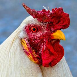 by Judy Rosanno - Animals Birds ( bandera, mardi gras 2018, parade, texas, cowboy capital,  )