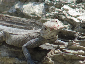 Photo: Day 1 - The Himalayan Agama - en route to Uttarkashi