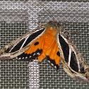 Dot-underwing Moth