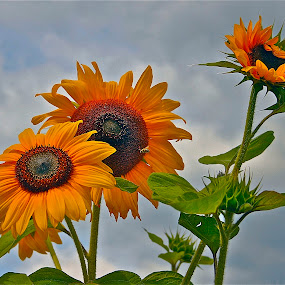 Reach for the Sun by David W Hubbs - Flowers Flowers in the Wild ( flowers in the sun, yellow flowers, flowers sun, sunflowers, sunflower, wild flowers, reaching for sun,  )