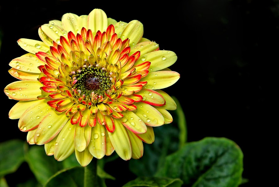 Gerbera by Shibram Nag - Flowers Single Flower ( close up, colour, flower )