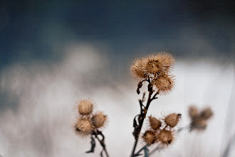 Photo: I can't quite wake up properly today, so before I go on a hunt for yet one more cup of coffee......  Dry thistles for - #WideOpenWednesday curated by +Shawn Clover  #OnePrimeWednesday curated by +Alfie Goodrich
