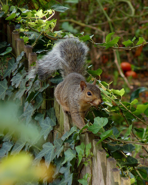 Photo: Eastern Gray Squirrel