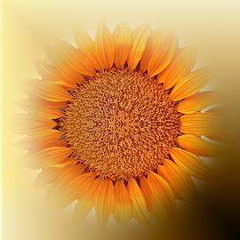 Beautiful SUN Flower by Florentina  Arvanitaki - Flowers Single Flower ( sunflower closeup, beautiful, nature, home decor, sun, flower )