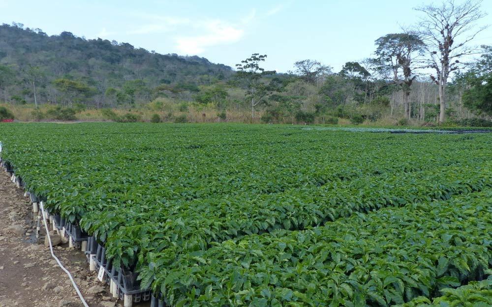 variedades híbridas de café na Nicaragua