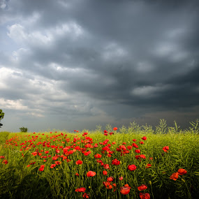 before the storm by Lupu Radu - Landscapes Prairies, Meadows & Fields ( tree, dobrogea, poppies, storm field,  )