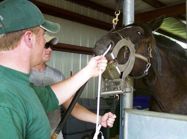 Holding the horse's head in extension facilitates blind passage of the catheter through the nasopharynx into the trachea