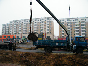 Photo: life and stills in benzrad 朱子卓's blog: winter 2011 stepping in with pure love. here long waited planting trees near QRRS Dorms, eastern Qiqihar after months of preparing in the broadening road operation.