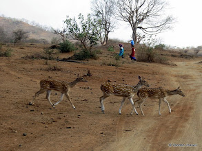 """Photo: Spotted Deer living in harmony with local trible ppl (Maldhari) at Khada Ness (Villege) 21°13'59.20""""N  70°33'11.63""""E"""