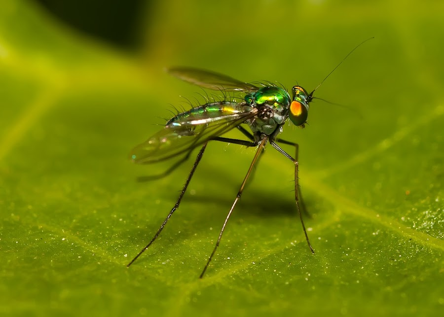 Macro by Hussien Mullar - Animals Insects & Spiders ( macro, green, insect, insects, close-up )
