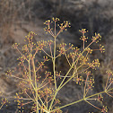 Two-whorled Giant-fennel