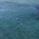 Groundhog /Woodchuck