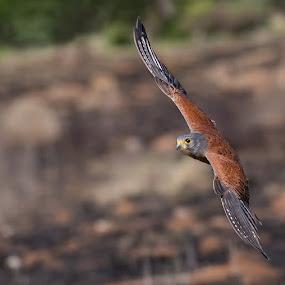 Kestrel in flight by Francois Retief - Animals Birds