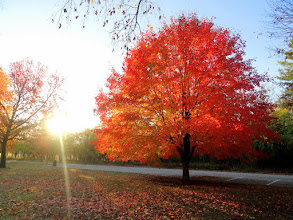Photo: Beautiful red autumn tree at Eastwood Park in Dayton, Ohio.