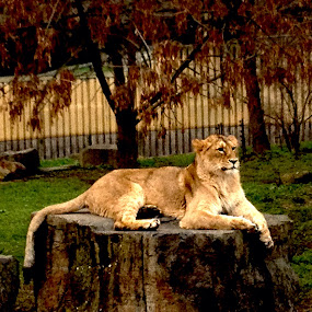 Lioness by Bronagh Marnie - Instagram & Mobile iPhone (  )