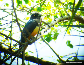 Photo: Citreoline Trogon on Peso Island