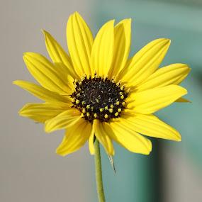 Flower by Mallikarjun Nath - Flowers Single Flower ( yellow, bright, portrait, sunflower, flower )