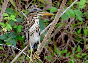 Photo: Green Heron (juvenile) @ Rio Sierpe, Osa Peninsula