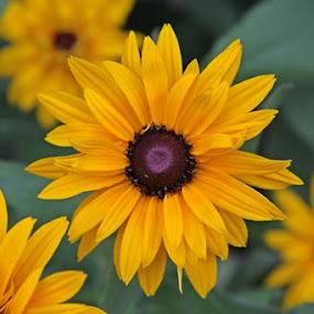 sun flower by Pitt N Sartoni - Nature Up Close Flowers - 2011-2013