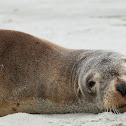 New Zealand Sea Lion (female)