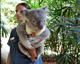 Photo: And the star of our visit-- Mr. Koala. So cute, sweet, cuddly and smells like eucalyptus.
