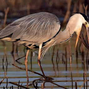 Grey heron with the fish kill by Manoj Kulkarni - Animals Birds ( prey, hunt, nature, fish, kill, eating, hunting, heron, pray, food, grey, wildlife )