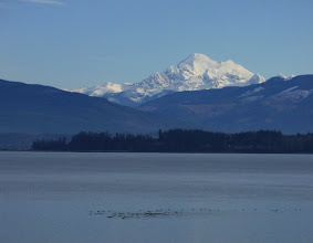 Photo: A flock of Brant swimming on Samish Bay, in the shadow of Mt. Baker in Washington's north Cascades