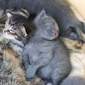 sweet ones by Jill Zwick - Animals - Cats Kittens ( pet portrait, pet photography, kitten, pet, cat portrait )
