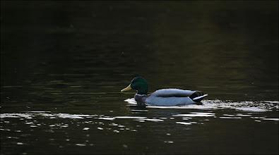 Photo: Bird N°40 Mallard ♂ - .... ..... Latin: Anas platyrhynchos