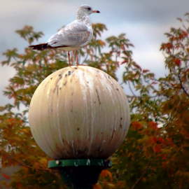 Seagull On Lampost Autumn by Robin Amaral - Uncategorized All Uncategorized ( seagull, lamppost, outdoor photography, rural, autumn colors, autumn leaves, lamp, autumn, new york, glass dome, blurred background, park,  )