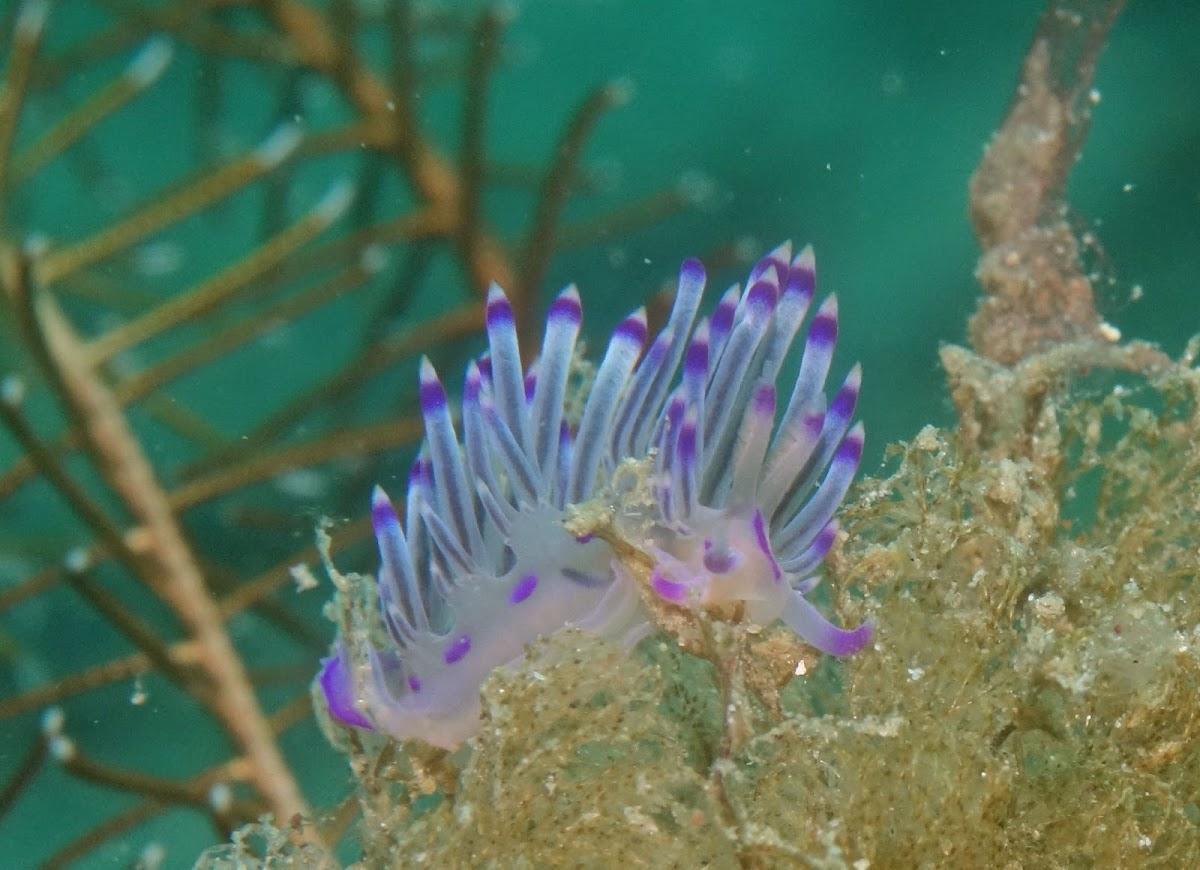 Flabelina Nudibranch