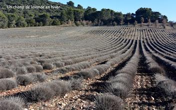 Photo: Un champs de lavande