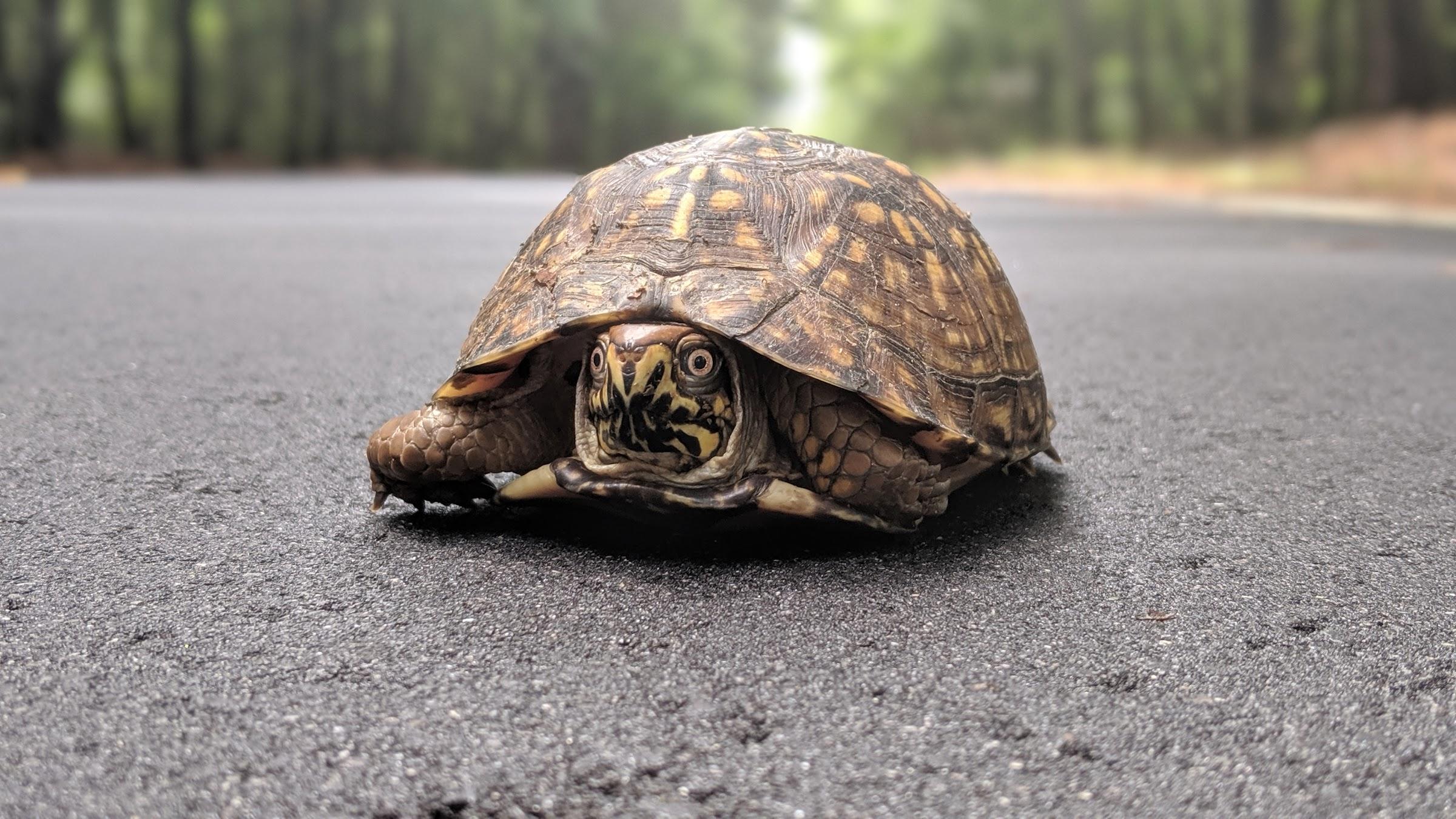 Turtle on Dr Evans Rd
