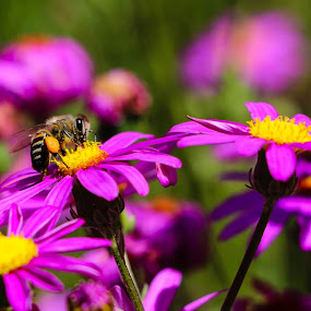 Working by Franco van Vuuren - Animals Insects & Spiders ( bee, south africa, garden, closeup, flower )
