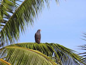 Photo: mangrove black hawk