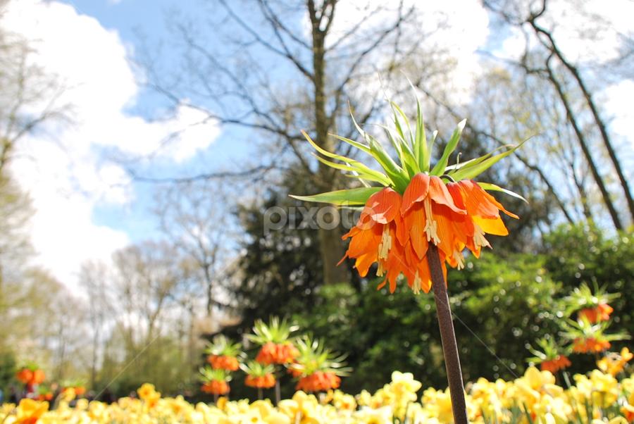 Hail The Queen by Azzah Rahman - Nature Up Close Flowers - 2011-2013 ( netherland, park, keukenhof, garden, flower )