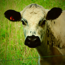 Cow by Michelle Kelly - Novices Only Pets