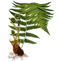 Fern species APK icon