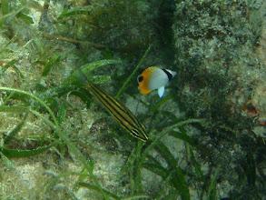 Photo: Chaetodon auriga (Juvenile Threadfish Butterflyfish), Siquijor Island, Philippines