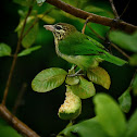 White cheeked barbet or small green barbet.