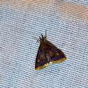 Mint-loving pyrausta moth